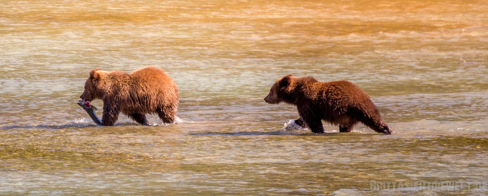 grizzly, bären, wildlife, safari, bear, viewing, exkursion, chilkoot, river, alaska