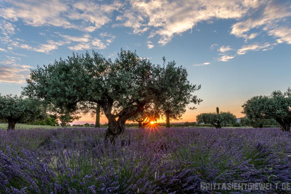 olivenbaum, sonnenuntergang, lavendelfelder, lavendel, lavendelblüte, sommer, luberon, reisetipps, infos, selbstgeplant, frankreich, provence