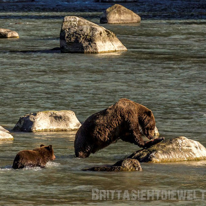 grizzly, bären, cubs, bärenjunge, haines, chilkoot, river, alaska, exkursion, lachs, lachsfang