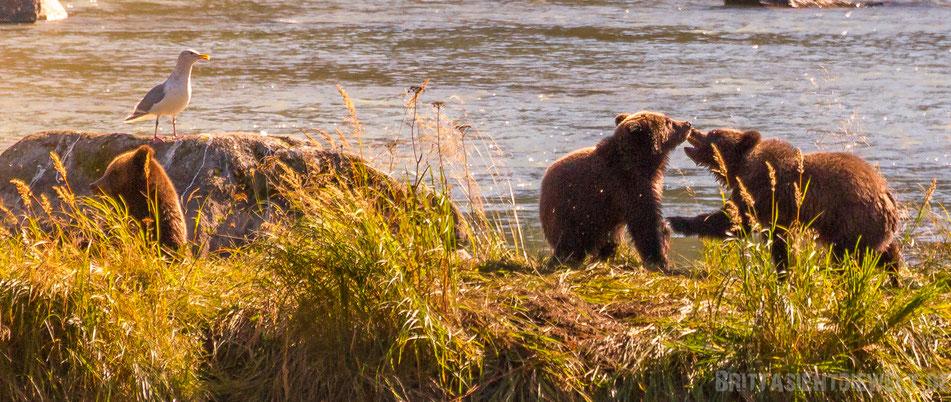 grizzly, bären, cubs, bärenjunge, spielen, haines, chilkoot, river, alaska, exkursion, lachs, lachsfang