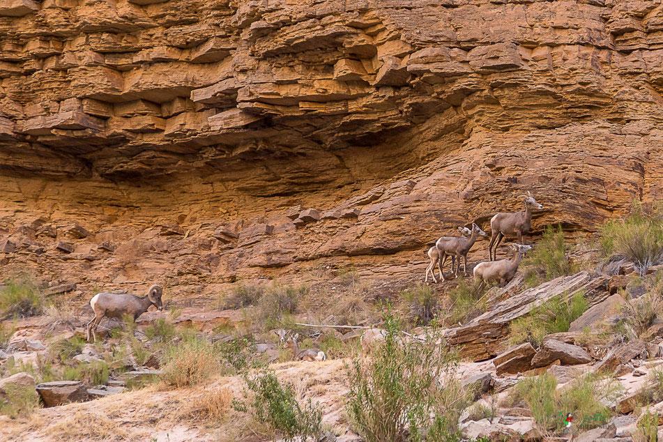 dickhornschaf, tiere, grand canyon, natur, rafting, wildwasser, schlauchboot, colorado, river, usa, arizona