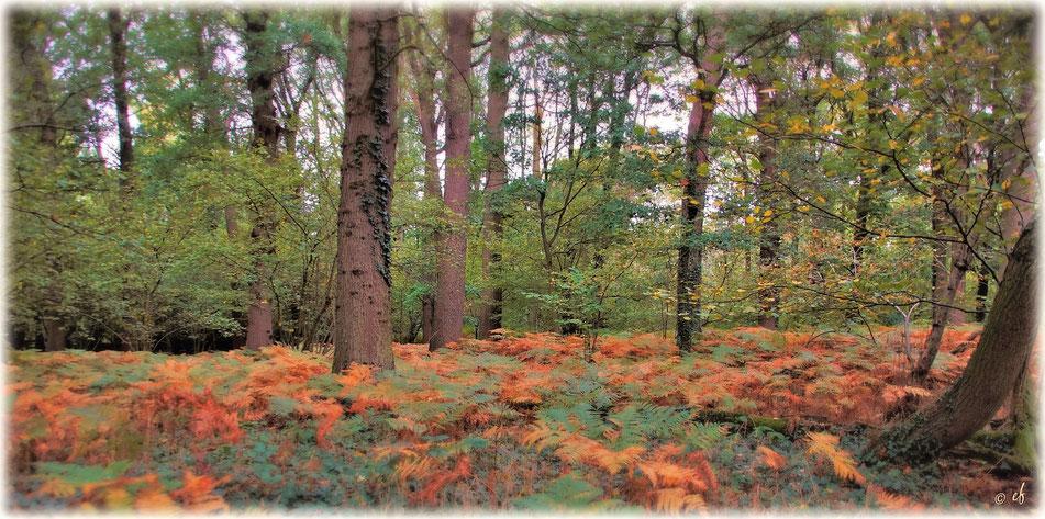 Der Adlerfarn sorgt im Herbst für einen farbenprächtigen Waldboden
