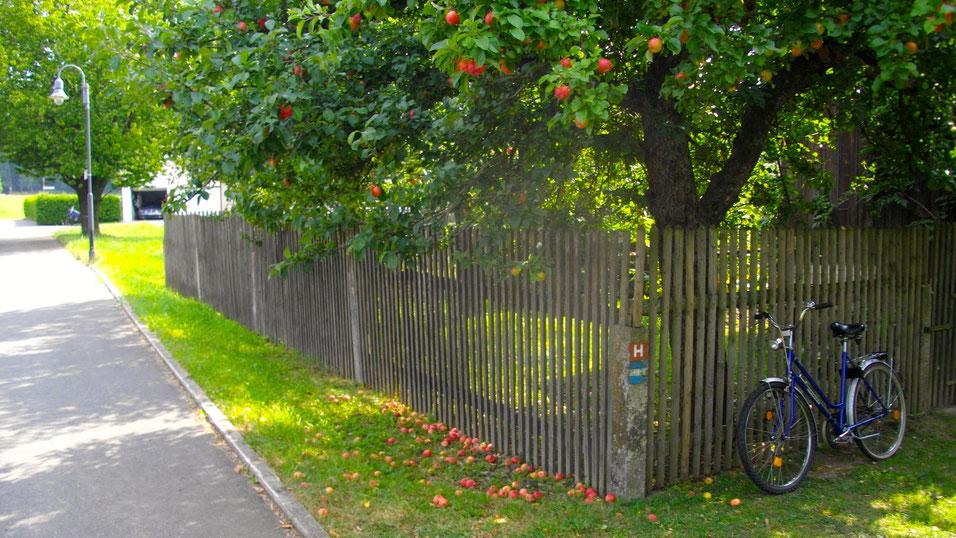 Reiche Apfelernte 2012 in Hallerstein