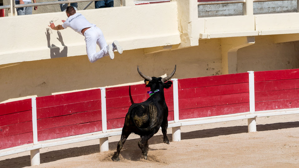 Bull chasing a raster of the arena during Course Camarguaise
