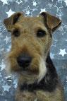 welsh terrier épilé dans au salon de toilettage canicoiff doué la fontaine.