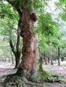 大地にたたずむムクロジの大樹