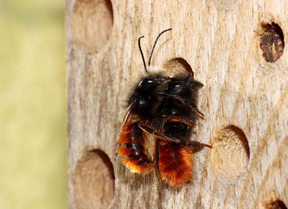 Mauerbienen bei der Paarung (NABU/C.Pusch)