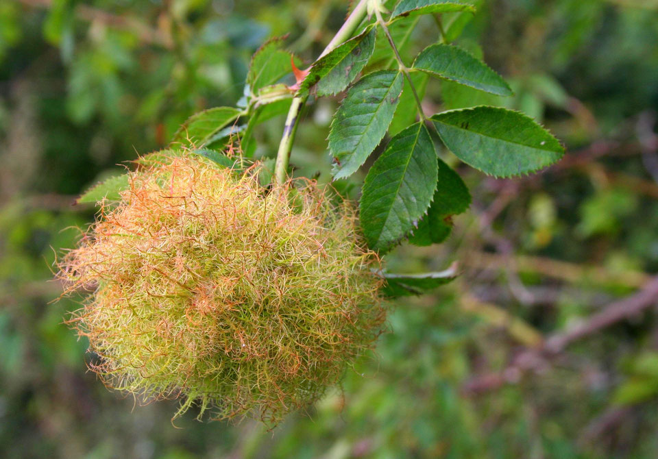 Ein Schlafapfel der Rosengallwespe (NABU/C.Pusch)