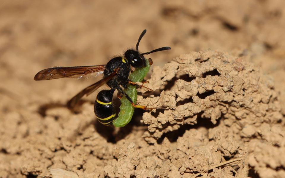 Die Gemeine Schornstein-Wespe mit Beute (NABU/C. Pusch)