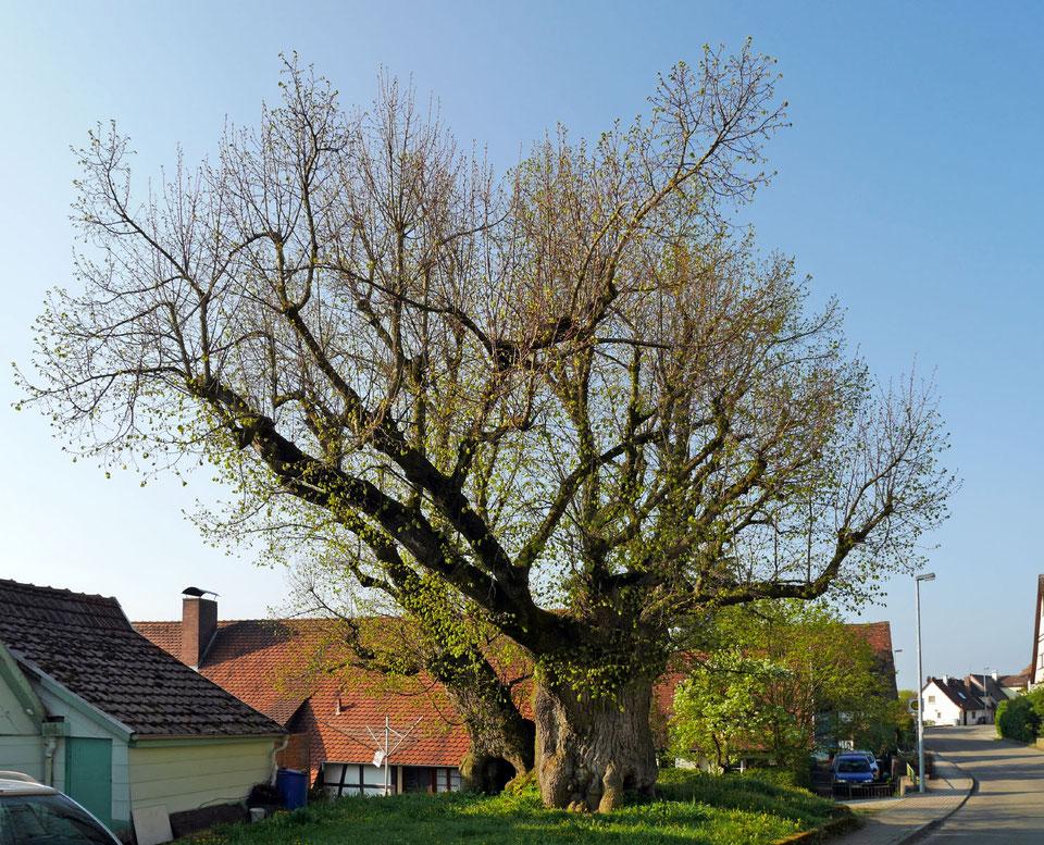 Linde in Wiesenbach