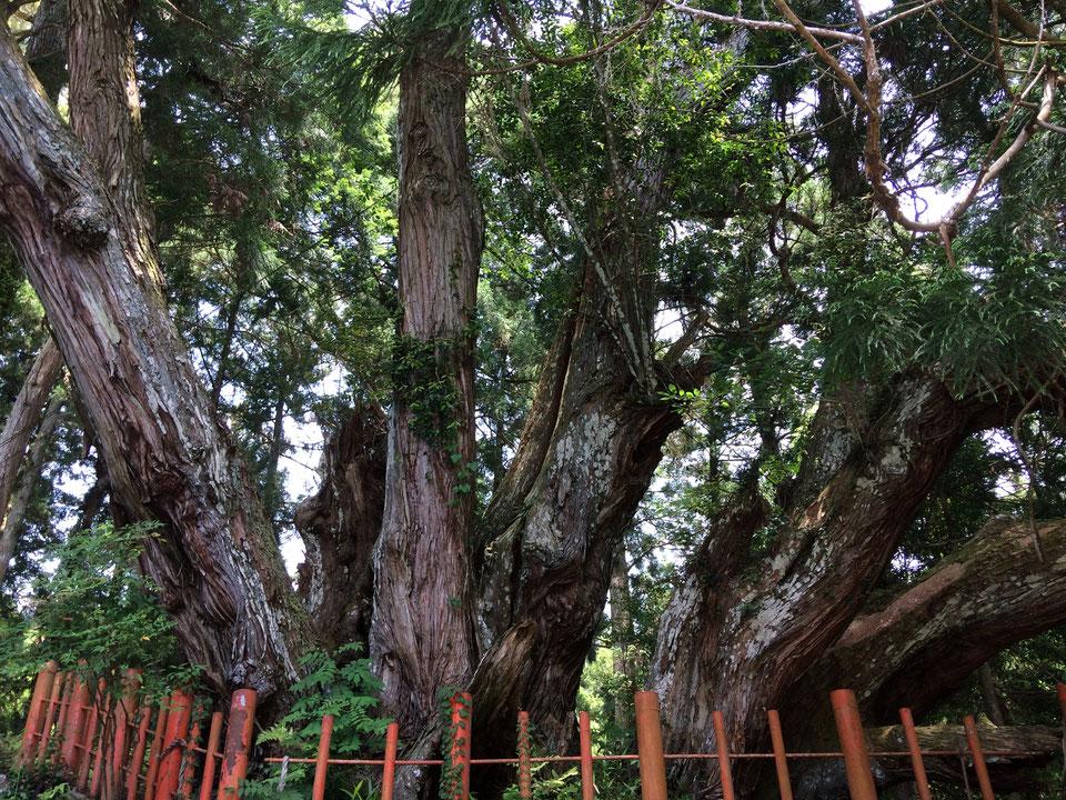 八ツ房杉(筆者撮影)