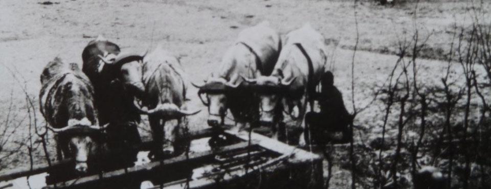 Zugochsen an der Tränke, Rittergut Heynitz 1930er Jahre, Foto: Nachlass Benno von Heynitz