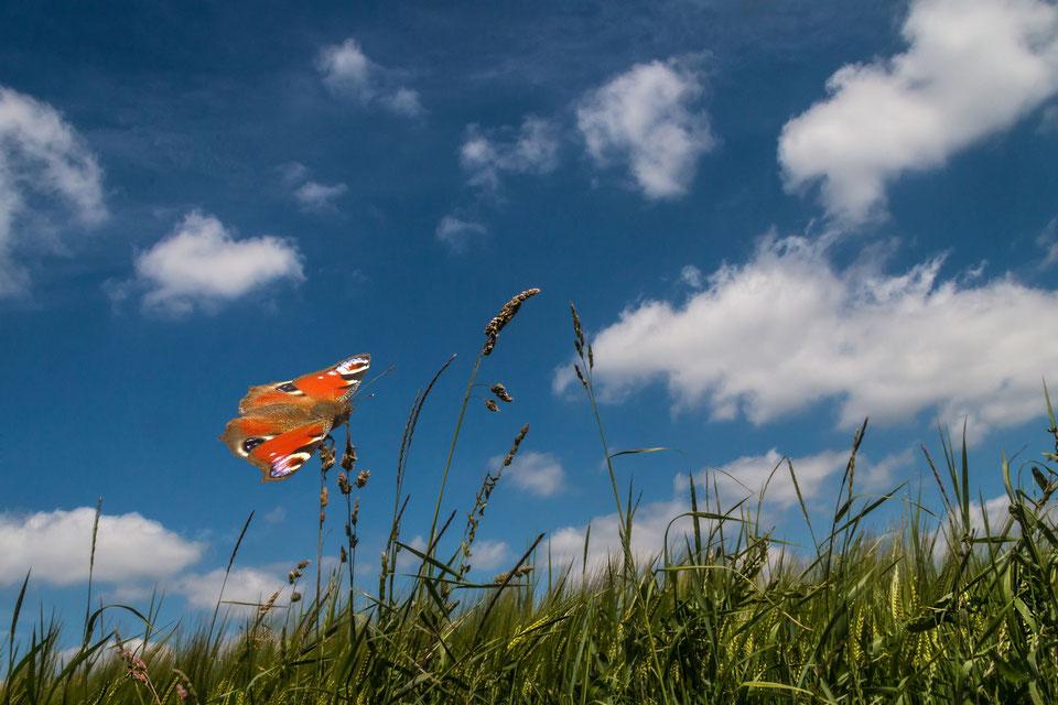 Tagpfauenauge-Schmetterling  unter blauem Wolkenhimmel lässt sich auf Grashalmen nieder