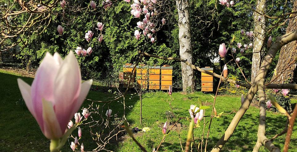 Während die Magnolien blühen ist der Bienenstandort in Frohnau ausgesprochen romantisch.
