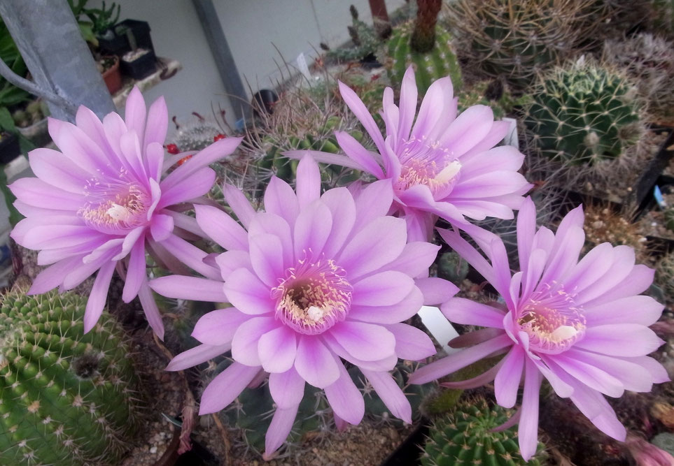 Echinopsis obrepanda v roeso-lilaciana