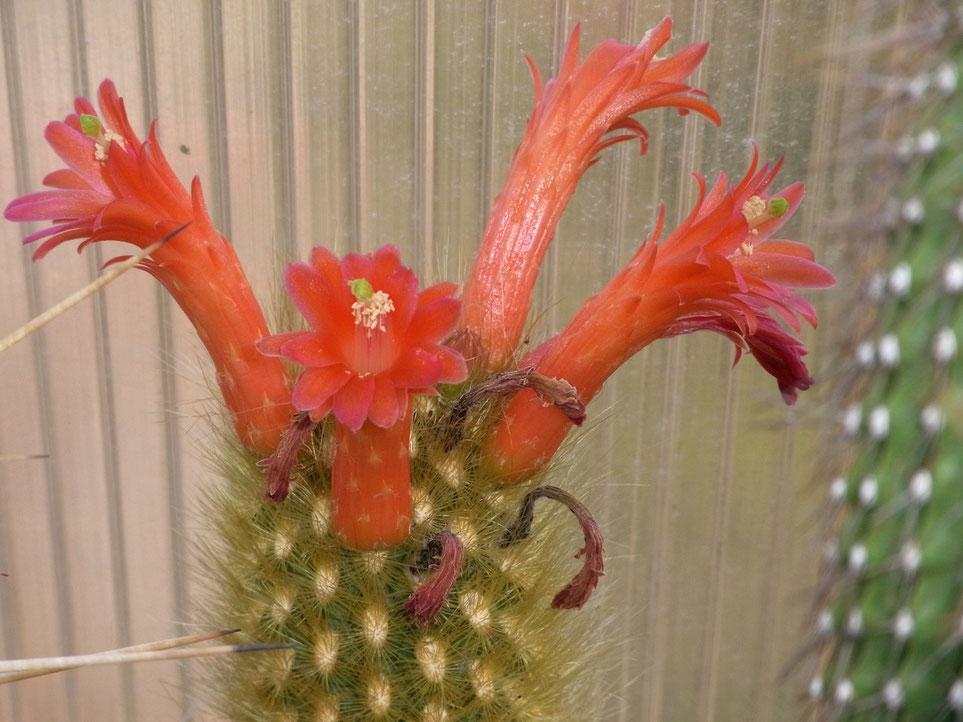 Borzicactus icosagonus