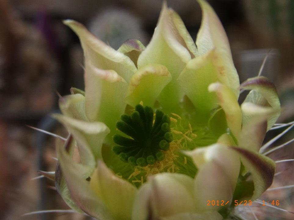 Echinocereus dasyacanthus v rectispinus