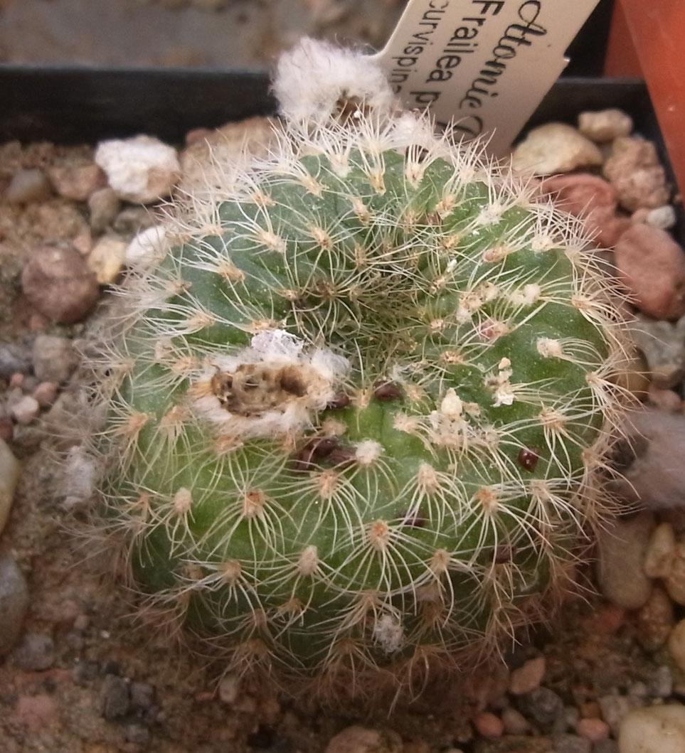 Frailea pygmaea v curvispina GF 183