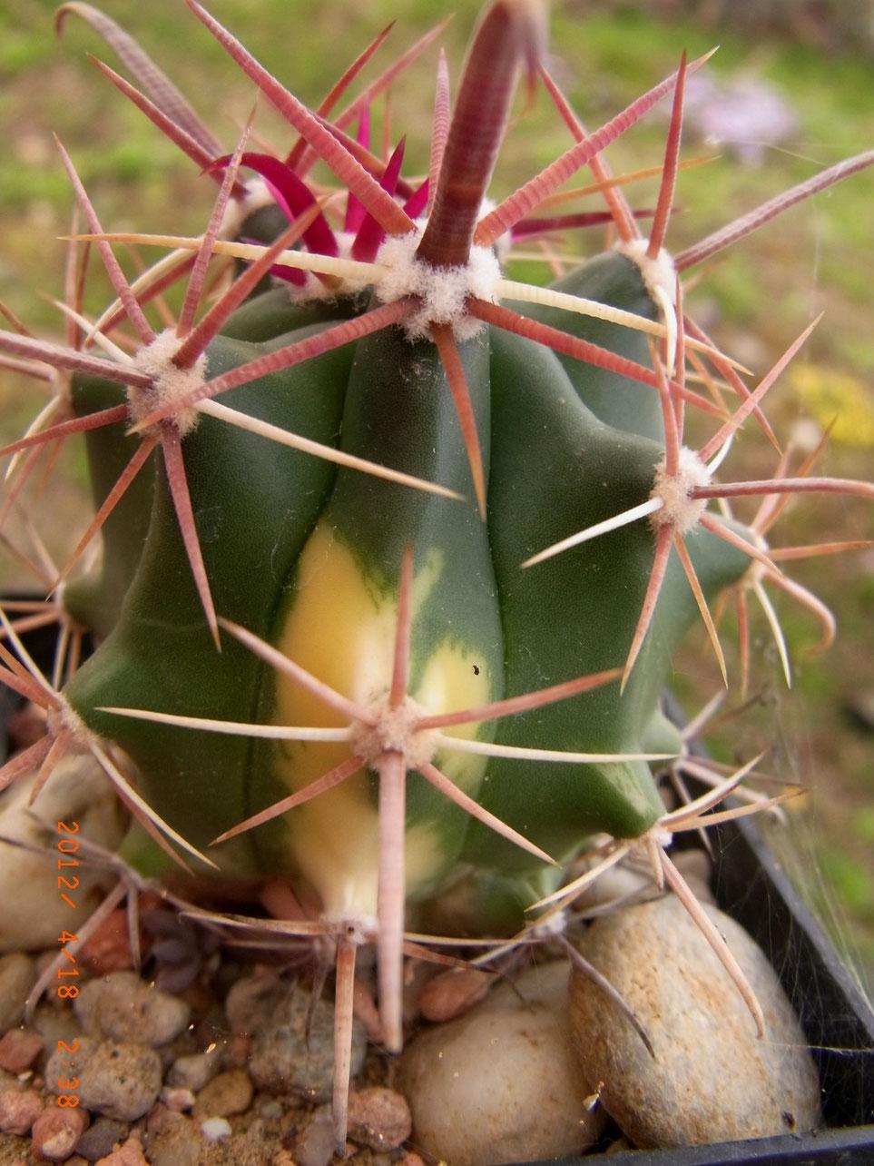 Ferocactus-Hybride