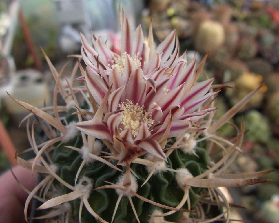 Echinofossulocactus, Blüte mit rotbraunen Streifen