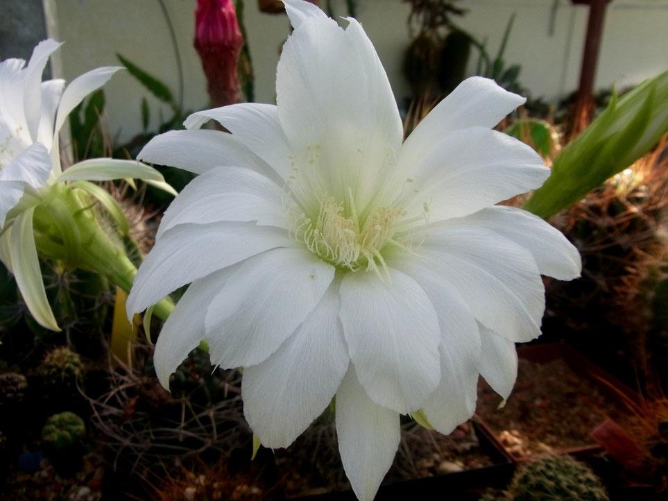 Echinopsis oberpanda