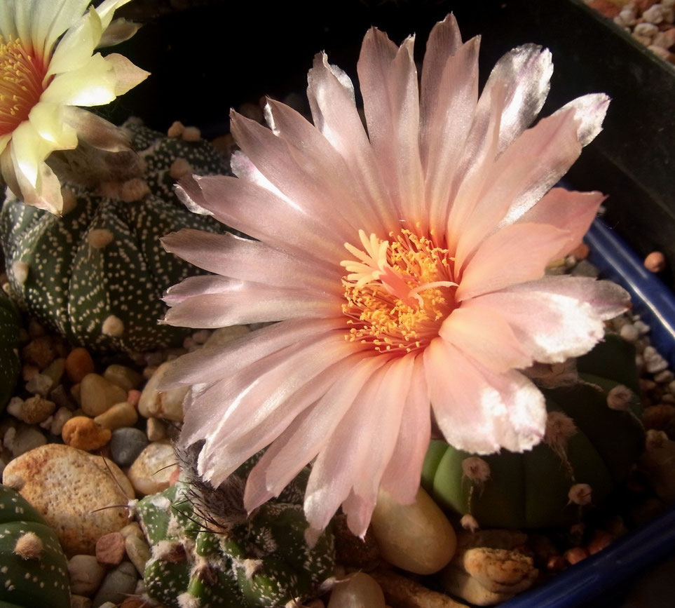 "Astrophytum Hybride ""bonnie"" - eigene Kreuzung"