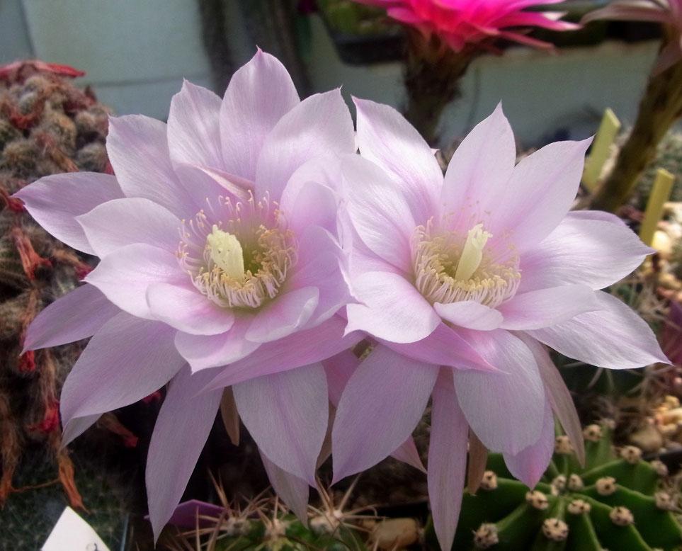 Echinopsis challichroma