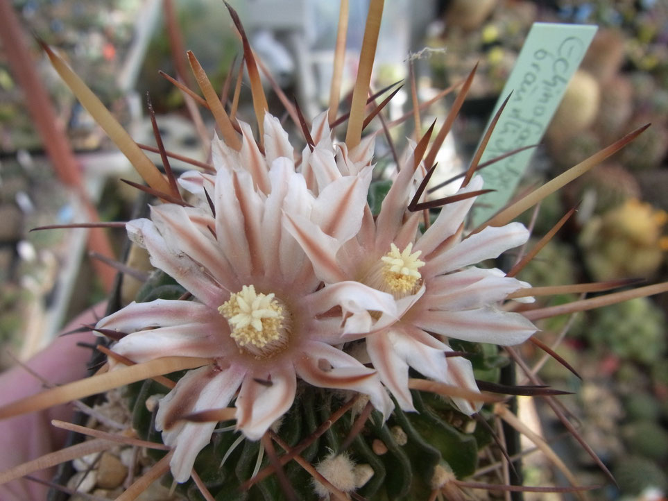 Echinofossulocactus, blüte mit bräunlichen Mittelstreifen