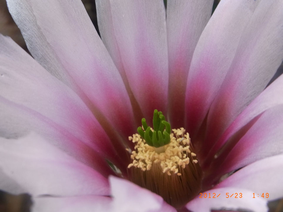 Echinocereus fendleri f albiflorus