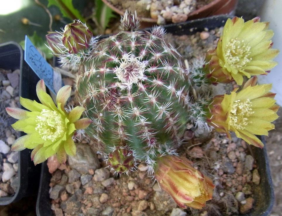 Echinocereus viridiflorus SB 876
