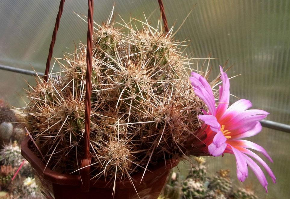 Echinocereus bartowleanus