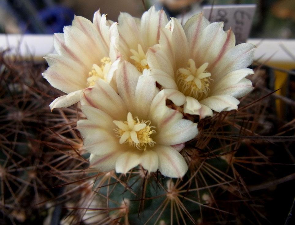 Escobaria aguirreana - Achragama
