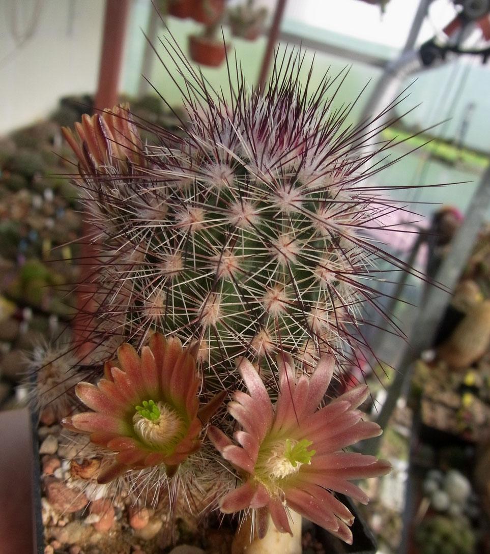 Echinocereus russanthus HK 1531
