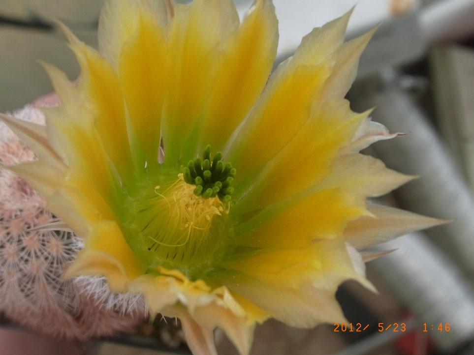 Echinocereus dasyacanthus SB244