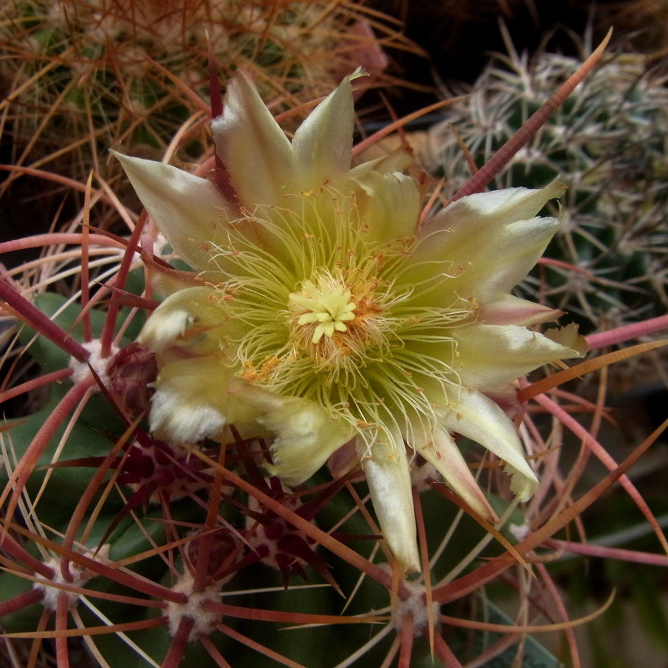 Ferocactus viridescens