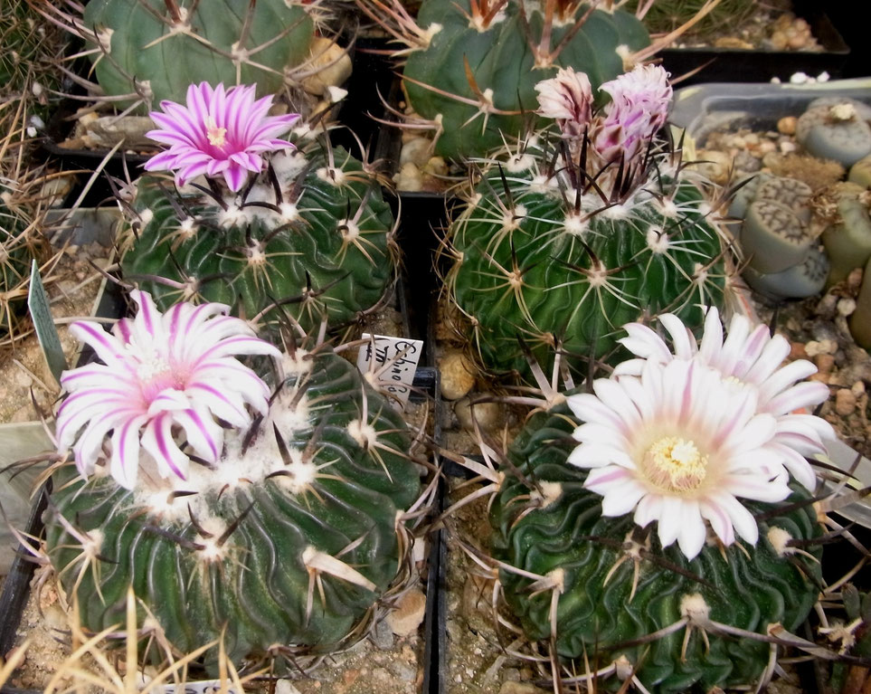 Echinofossulocactus multicostatus v erectrocentrus GL 89-3,