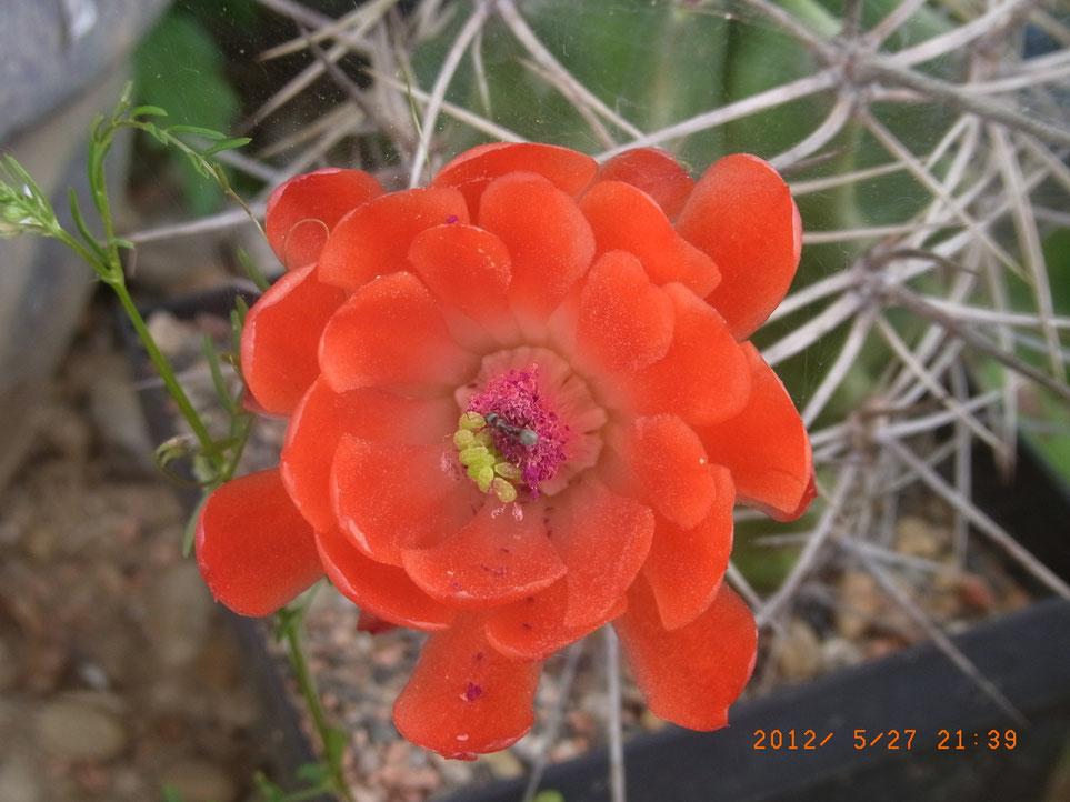Echinocereus triglochidatus, mit Regenschutz ganzjährig im Freien