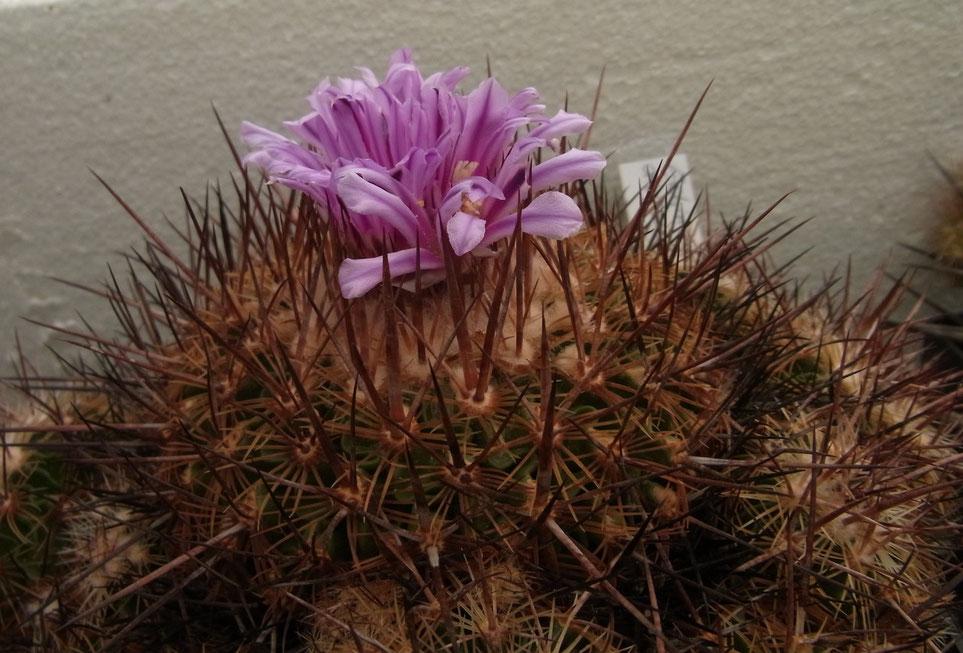 Echinofossulocactus diochracanthus