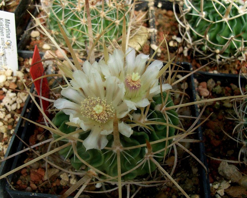 Echinofossulocactus, rein weisse Blüte, Eigenzüchtung!
