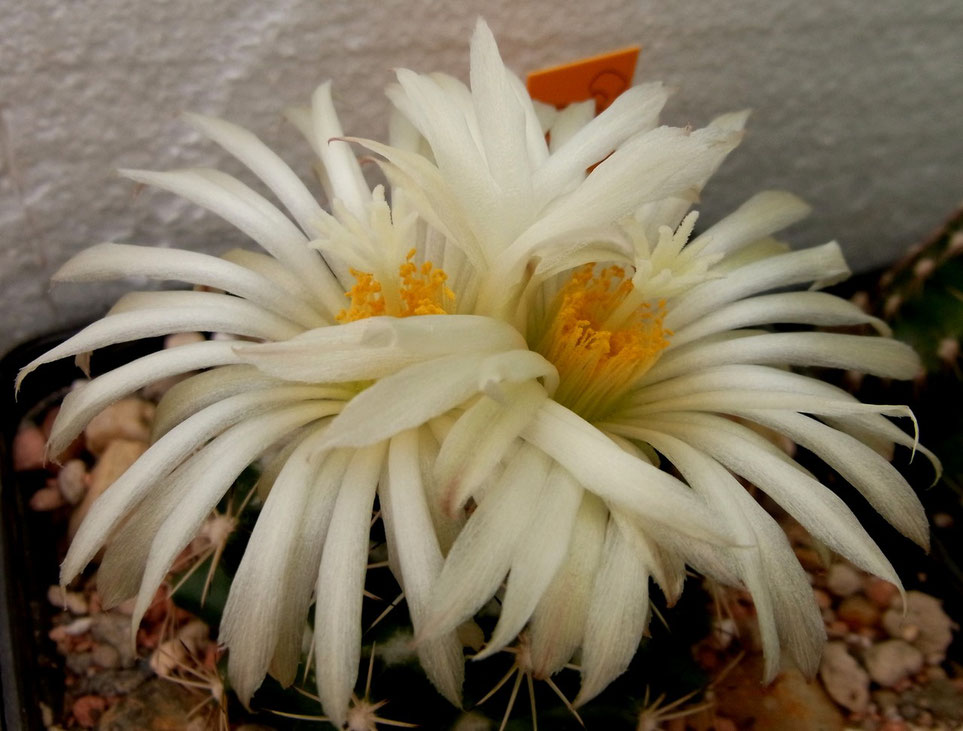 Coryphantha vogtheriana