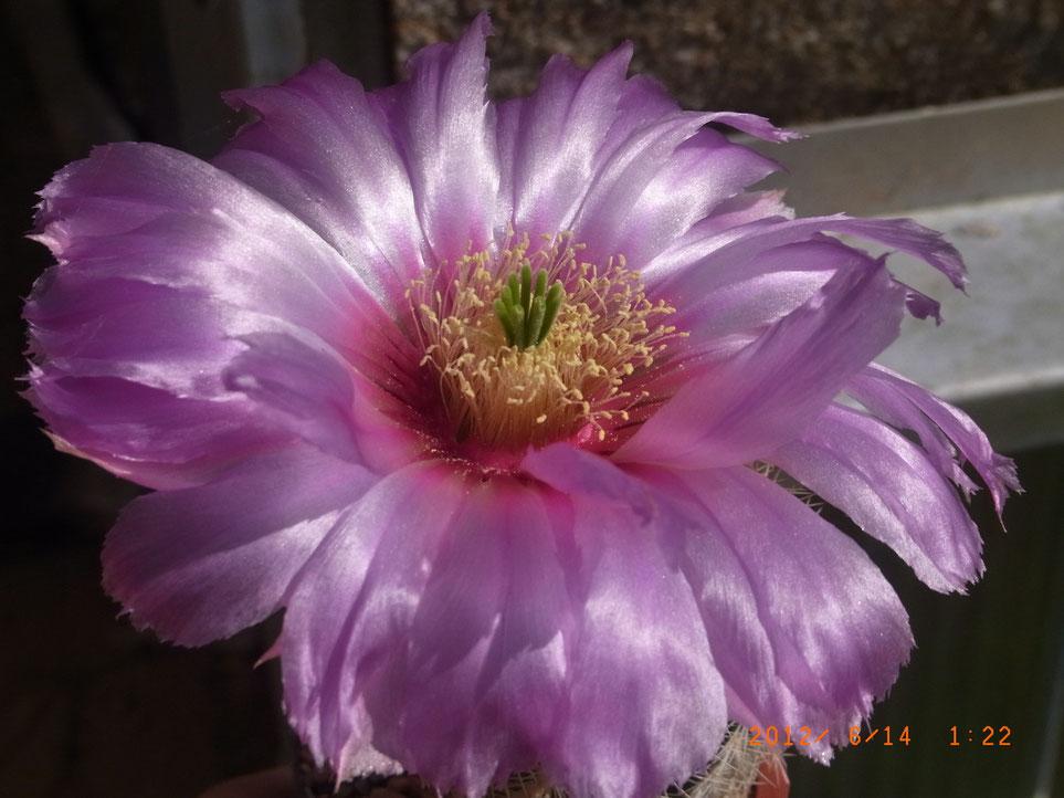 Echinocereus baileyii - eine bis -18°C frostharte Pflanze