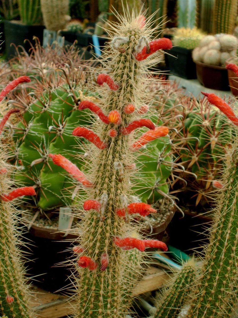 Cleistocactus baumii