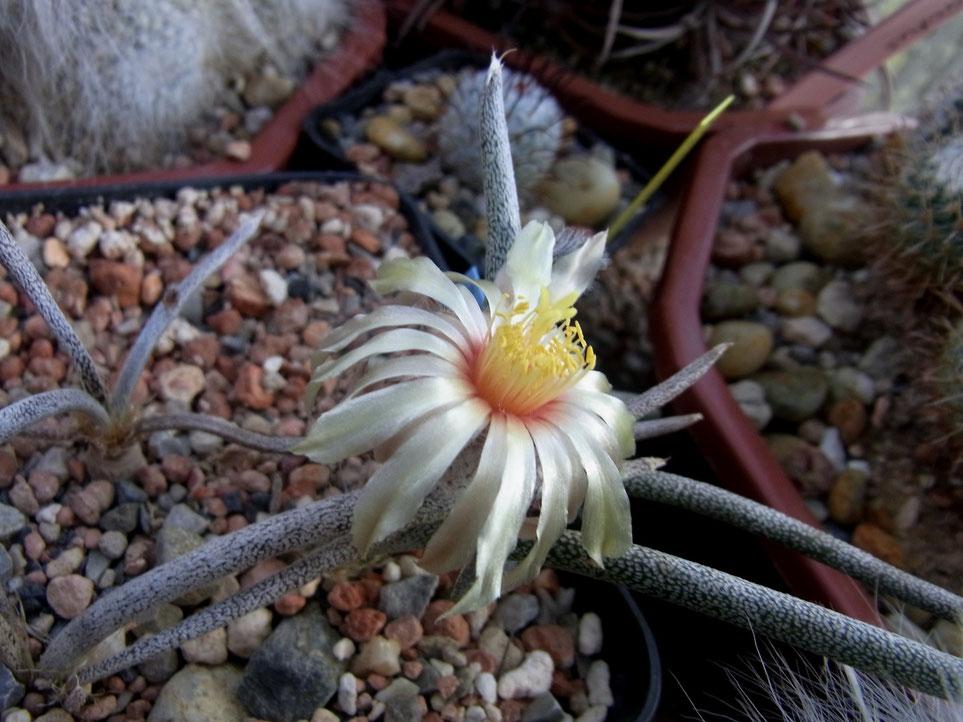 Astrophytum caput-medusae