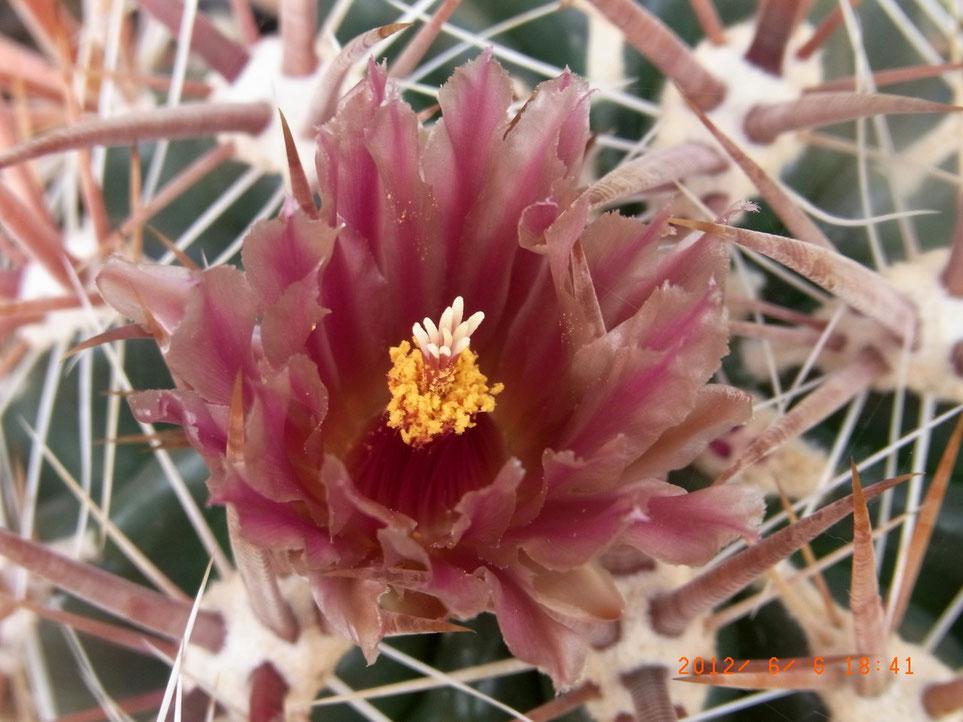 Ferocactus fordtii