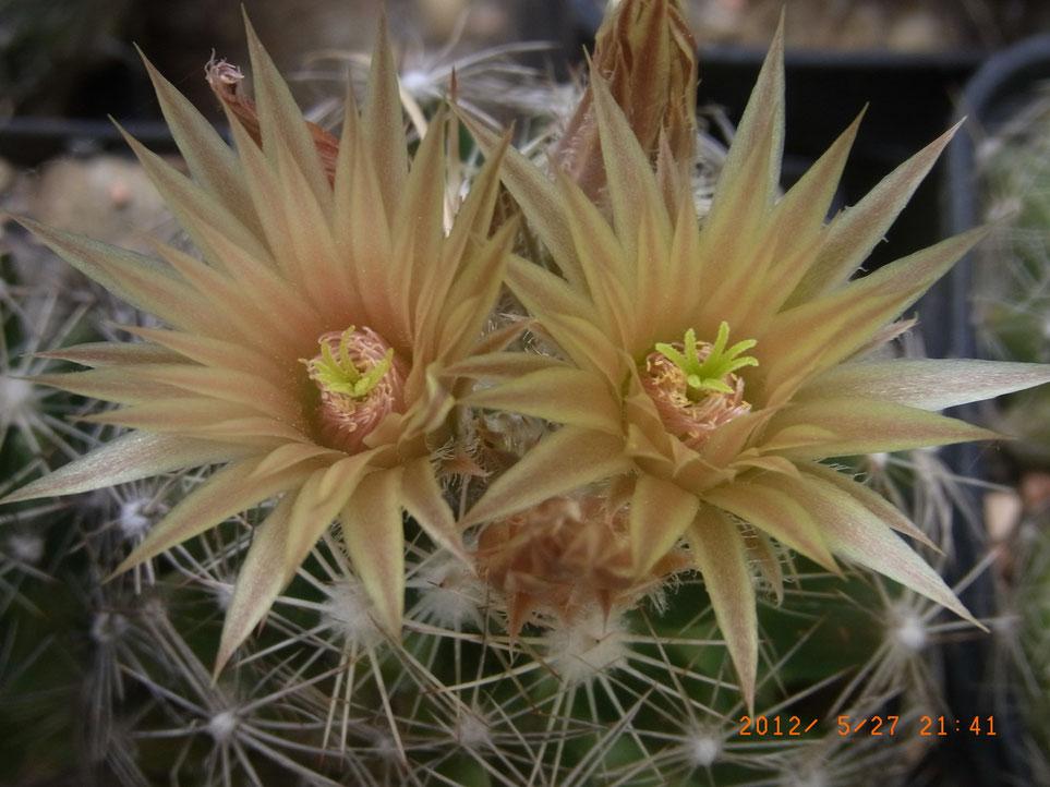 Escobaria mississourensis - FH mehr als -20°C