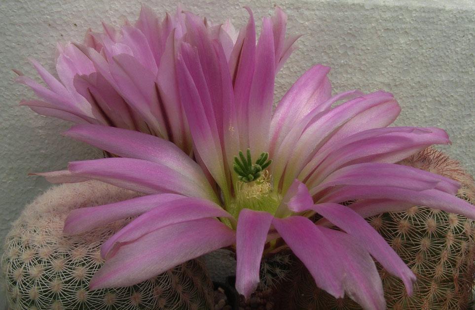 Echinocereus pectinatus, rosa-beige Dornen