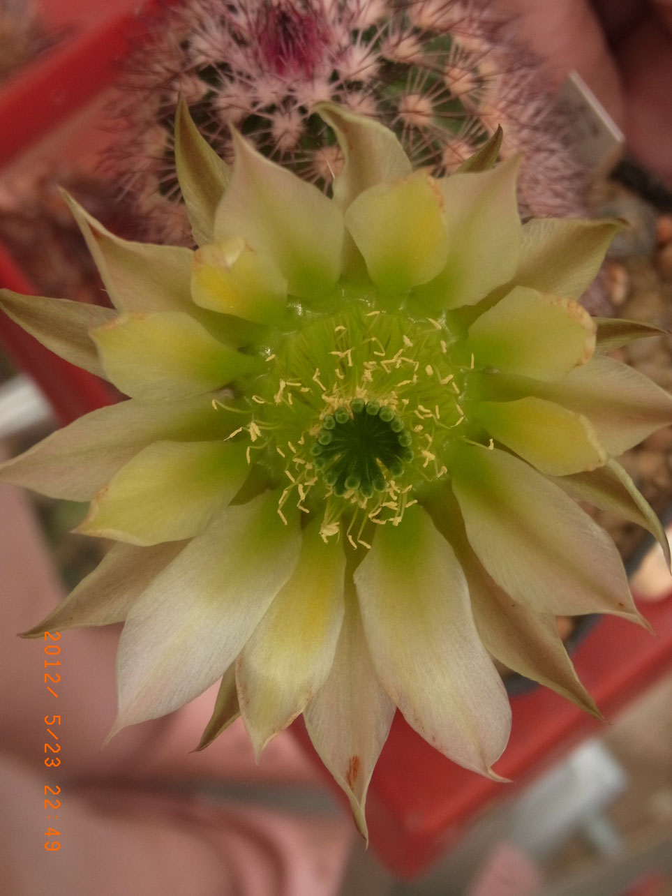Echinocereus roetterii