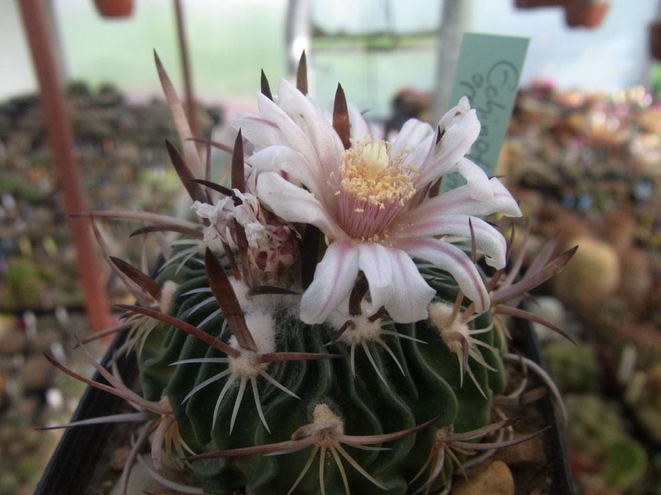 Echinofossulocactus grandicornis