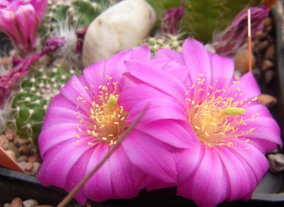 """Echinocereus pullchellus v amoneus f """"oaxaca"""""""