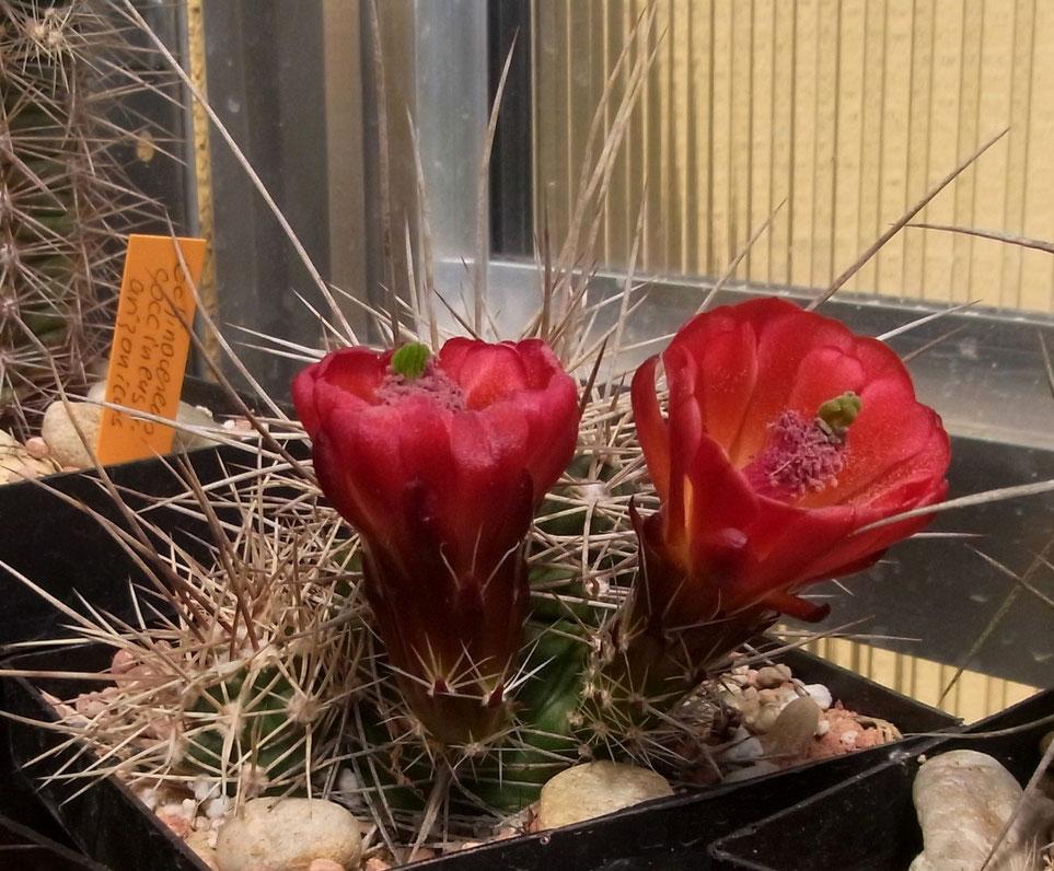 Echinocereus coccineus, super Dornen, im unbeheiztem Gewächshaus